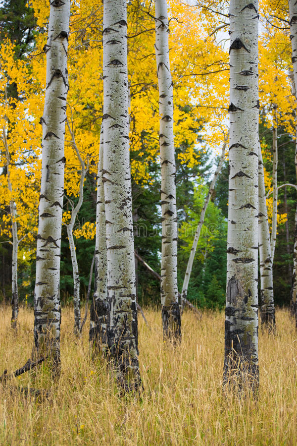 Spadek osiki przy Uroczystym Teton lasem państwowym zdjęcia stock