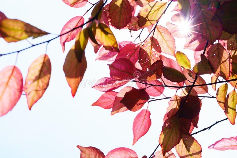 Spadek w lasowym wiosny drzewie z czerwień liśćmi i promienie słońce zaświecamy obrazy royalty free