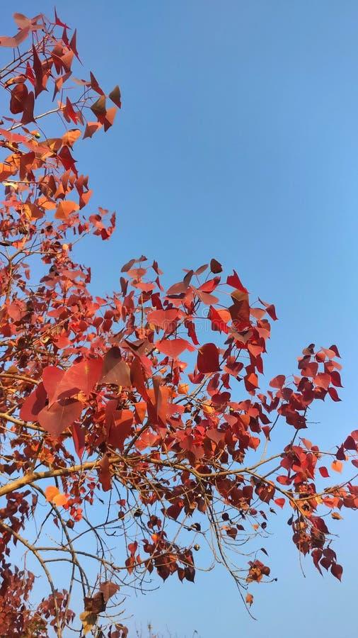 Spadek zimy topolowy drzewo Barwi w Himachal ind obraz stock