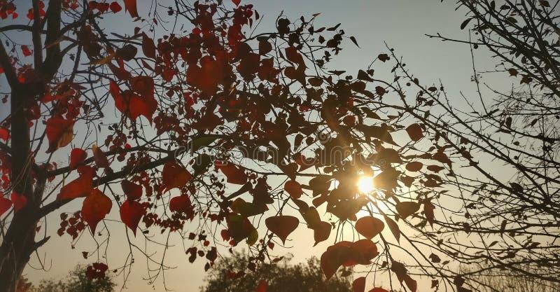 Spadek zimy topolowy drzewo Barwi w Himachal ind obraz royalty free