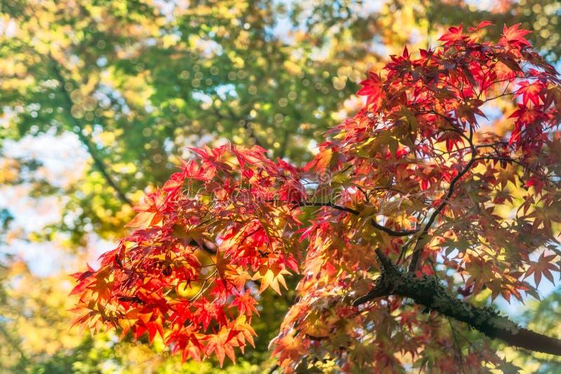 Spadków kolory przy Kinkaku-ji Zen ogródem, Kyoto, Japonia fotografia royalty free