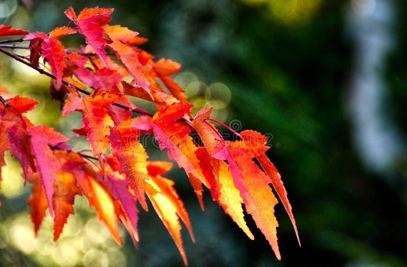 Spadków liści zwrota zieleń i rewolucjonistka zdjęcie royalty free