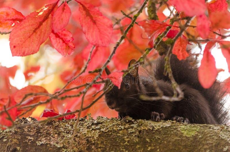Spadków liście chuje czarnej wiewiórki zdjęcie stock