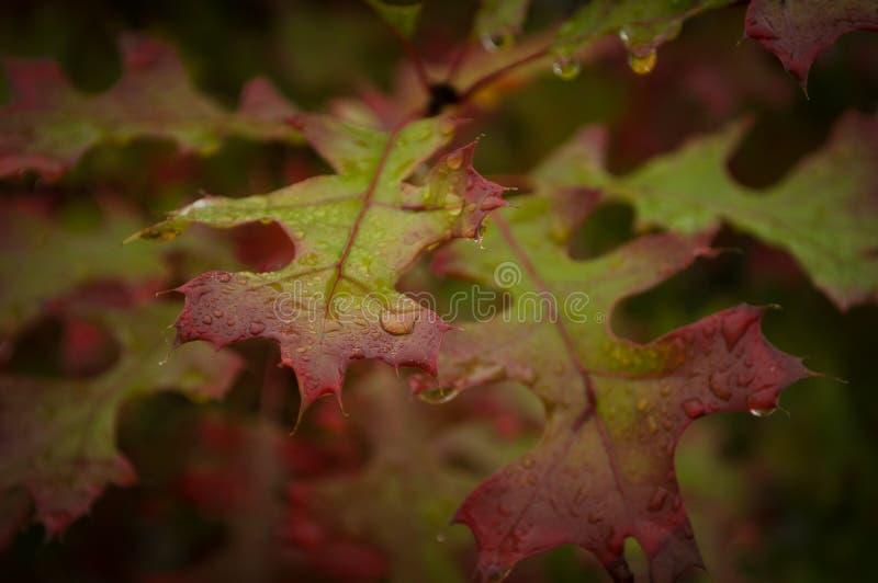 Spadków liście i wod krople obrazy royalty free
