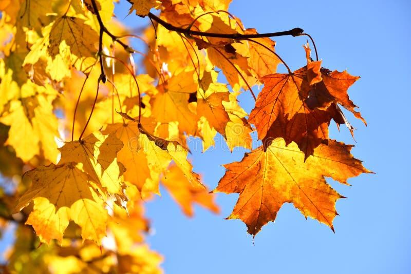 Spadków liście klonowi zdjęcia stock