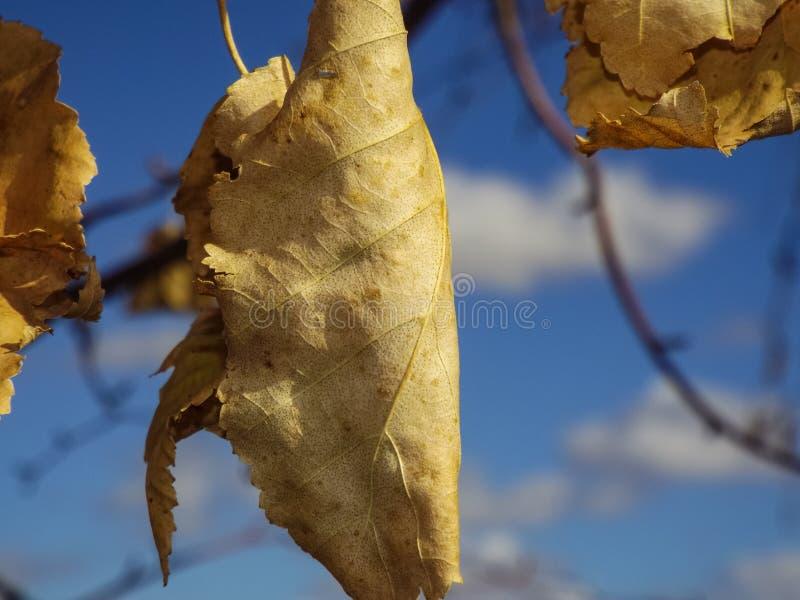 Spadków liście na drzewie Przeciw niebieskiemu niebu zdjęcie royalty free