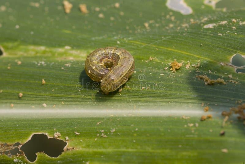 Spadku armyworm Spodoptera frugiperda na kukurydzanym liściu (Smith 1797) zdjęcie royalty free