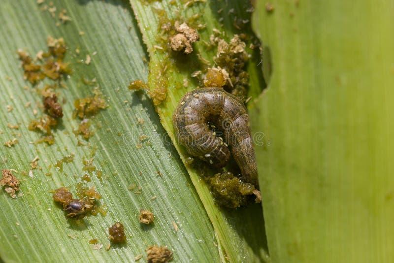 Spadku armyworm Spodoptera frugiperda & x28; Smith 1797& x29; na uszkadzających kukurydzanych liściach z ekskrementem zdjęcia stock