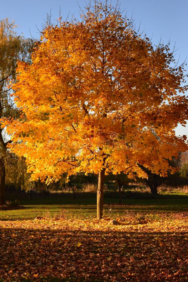 Spadku Klonowego drzewa kolory obraz royalty free