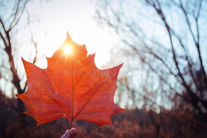 Spadku koloru liść klonowy zdjęcie royalty free