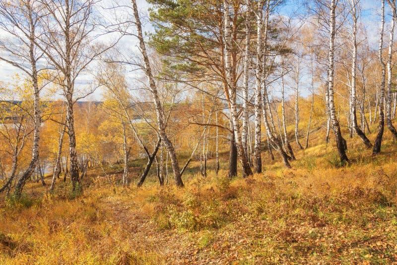 Spadku krajobraz: Brzoza las z Złotym ulistnieniem na brzeg rzeki obraz royalty free
