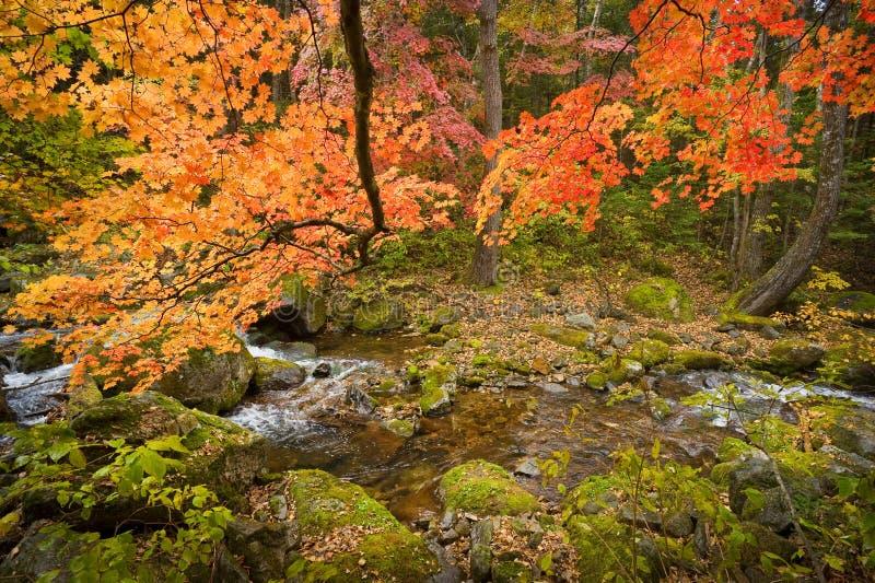 Spadku lasowy strumień Elomovsky z czerwonymi klonowymi drzewami w rosjanina Pri zdjęcia stock
