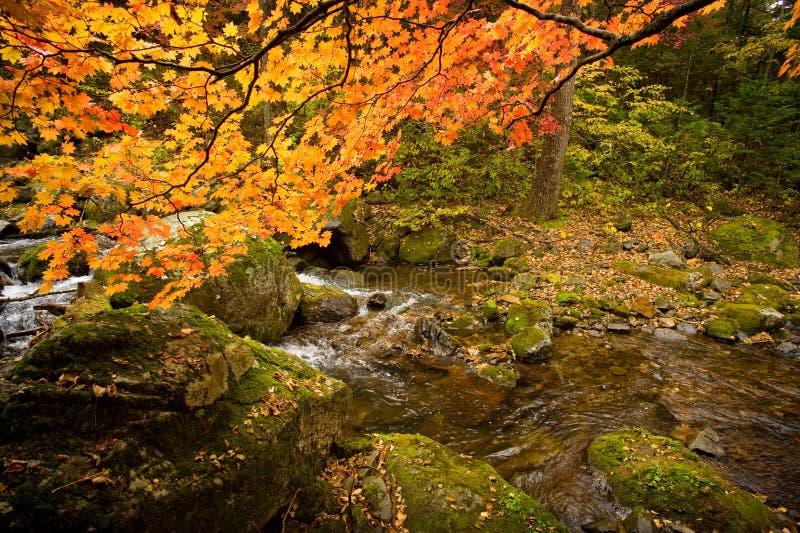 Spadku lasowy strumień Elomovsky z czerwonymi klonowymi drzewami w rosjanina Pri fotografia stock