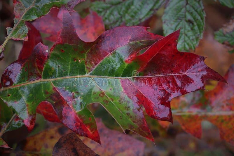 Spadku liścia Dębowa czerwień i zieleń zdjęcia royalty free