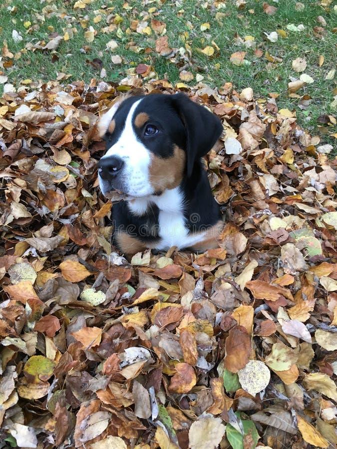Spadku liścia góry Szwajcarski pies obraz royalty free