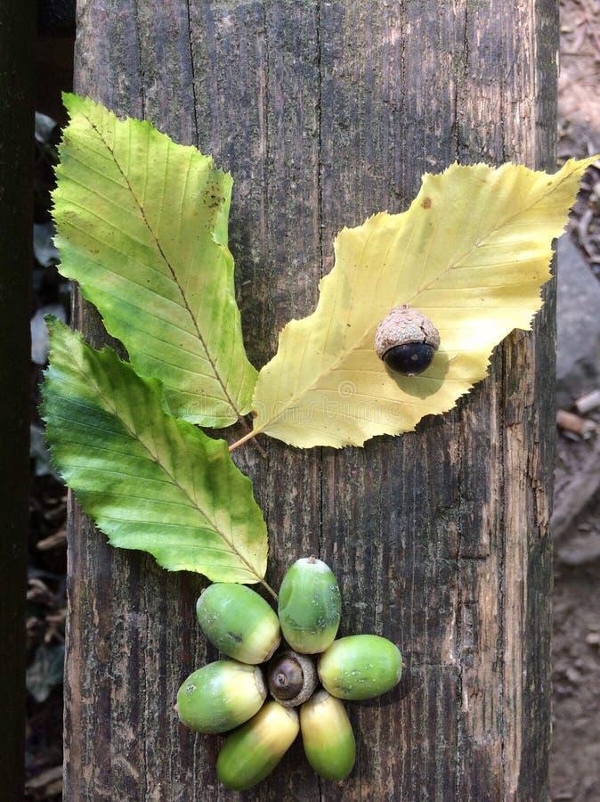 Spadku pojęcie z liśćmi i acorn zdjęcie royalty free