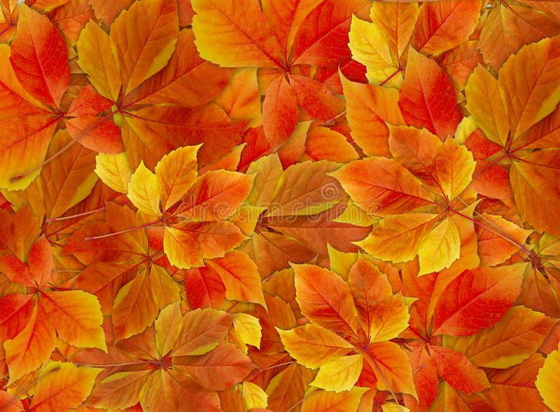 Spadku tło Kolorowi czerwieni i pomarańcze jesieni liście na lasowej podłoga - zapas zdjęcia stock