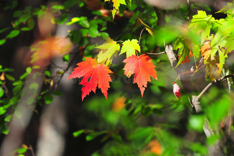 Spadku ulistnienia jesieni liści klonowych Zamknięty Up tło zdjęcie royalty free