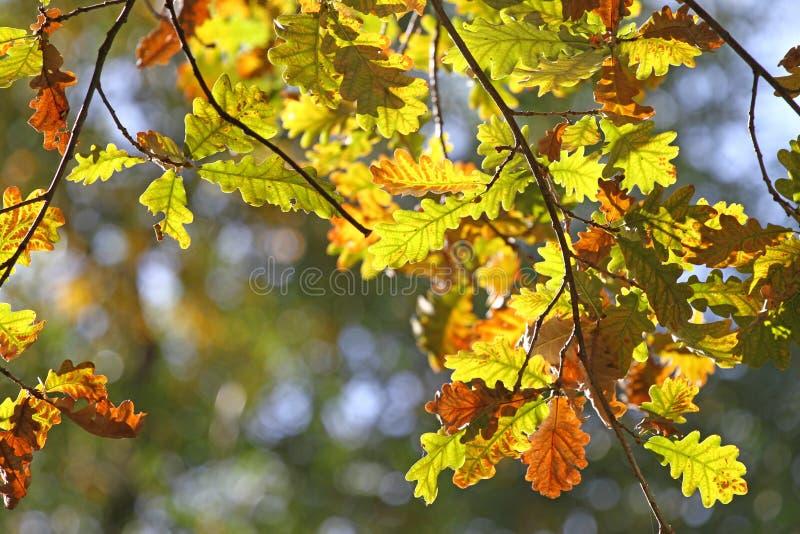 Spadku ulistnienia liście Zależą bieg jesieni DĘBOWYCH liście obraz royalty free