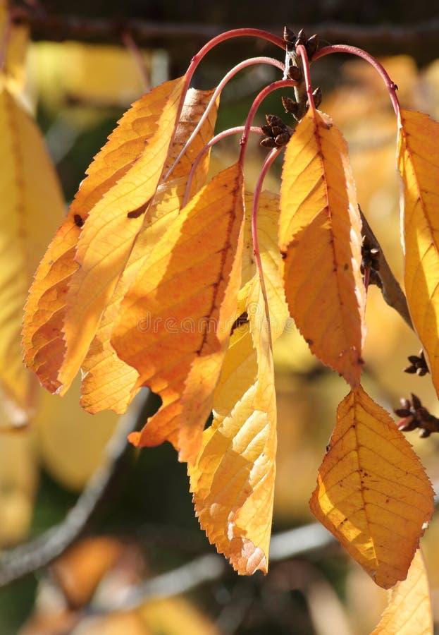 Spadku ulistnienie na czereśniowym drzewie zdjęcie stock