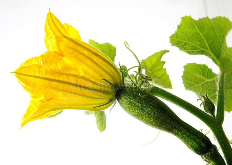 Spaghetti squash Flower stock images