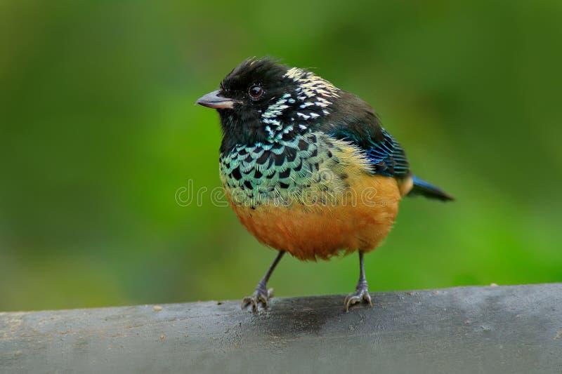 Spagled-cheeked唐纳雀, Tangara dowii,鸟在绿色森林栖所,哥斯达黎加 唐纳雀坐美好的青苔brach与 免版税库存图片