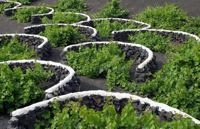 Spain, Canary Islands, Lanzarote, La Geria Vineyard. Spain, Canary Islands, Lanzarote, La Geria Vineyard region - detail of vines protected from elements by royalty free stock photography