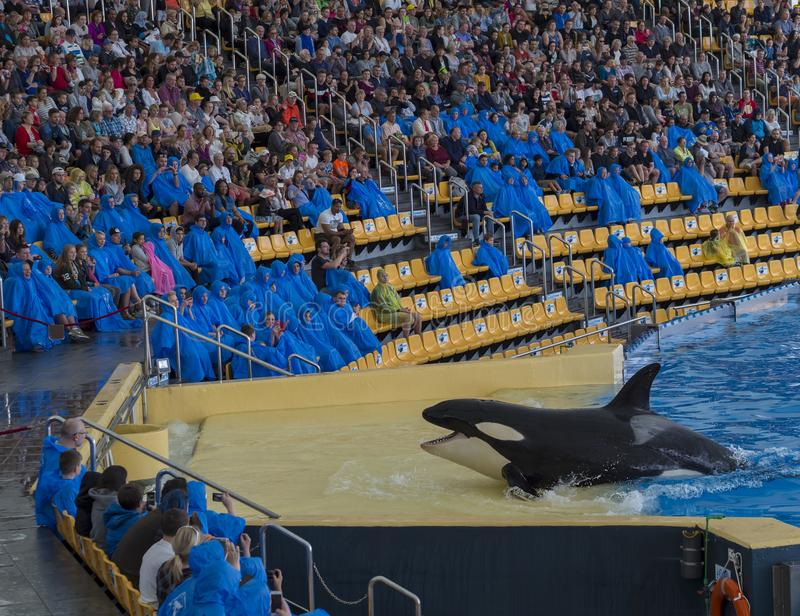 Spain, Tenerife, Puerto de la Cruz, 2017, December 28: spectacular killer whale Orca show in the largest zoo in Canary Islands -. Loro Parque, Loro Park most stock photo