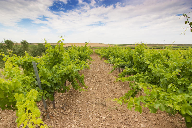 spain vingård arkivbild