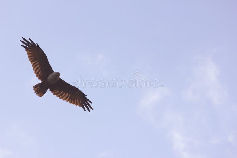Spalancato in ascesa di Eagle alto nel cielo blu immagini stock libere da diritti