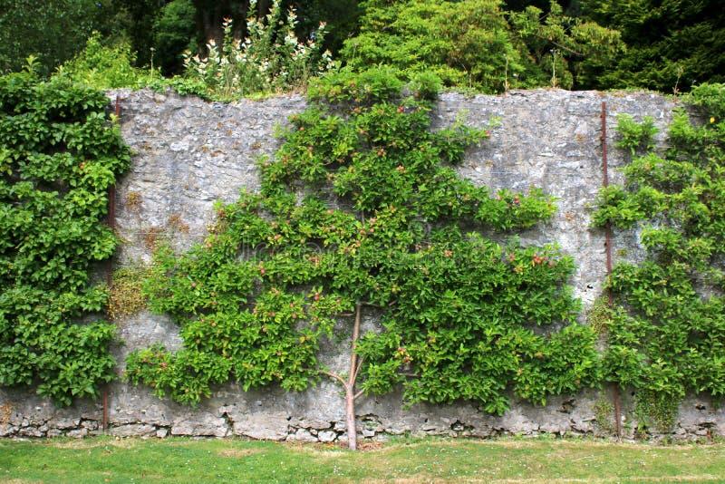 Spalier bildete Obstbaum auf Wand aus stockfoto