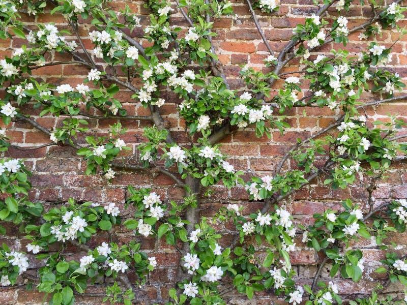 SpalierObstbaum ausgebildet gegen eine Backsteinmauer stockbilder