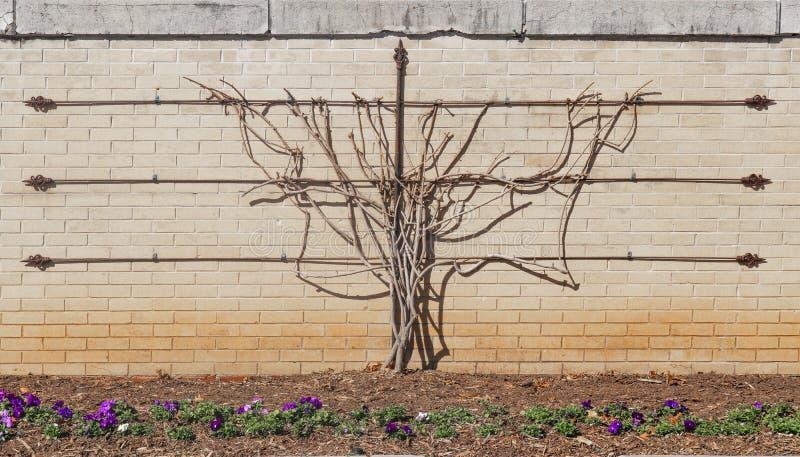 Spalierrebe im Winter ohne die Blätter ausgebildet, um auf Backsteinmauer mit Metallgitter mit Pansies im Blumenbeet in der Front lizenzfreie stockfotografie