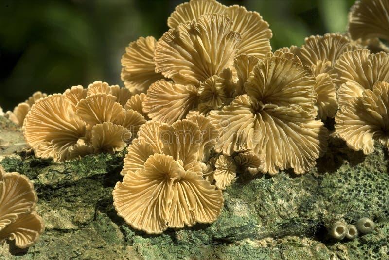 Spalte-Kiemepilze, die auf totem Holz Früchte tragen stockfotos