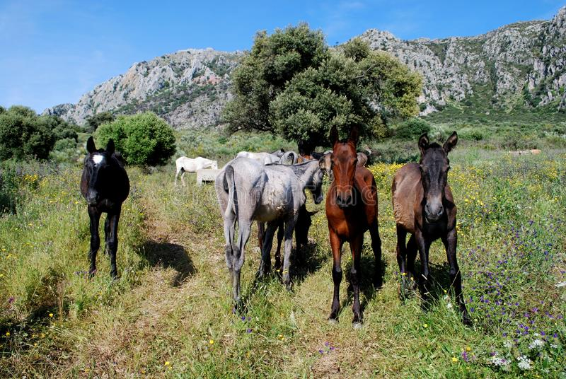 Wild horses in the mountains, Casares, Spain. royalty free stock photography
