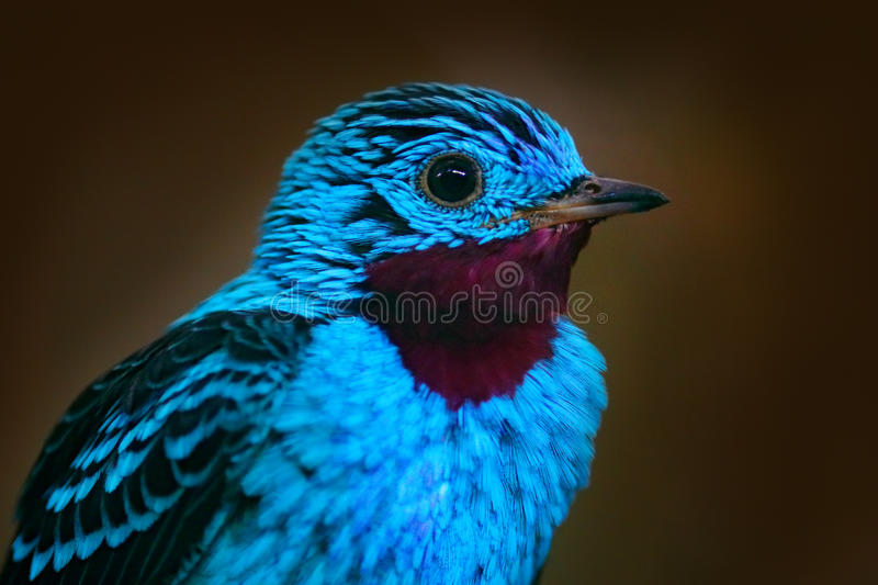 Spangled Cotinga, Cotinga cayana, detail portrait of exotic rare tropic bird in the nature habitat, dark green forest, Amazon, Bra stock images