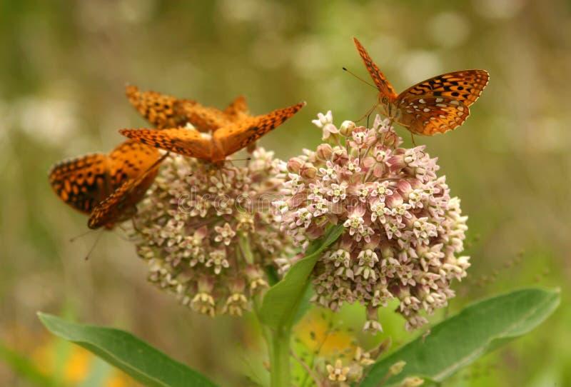 spangled fjärilsfritillarystore royaltyfri bild