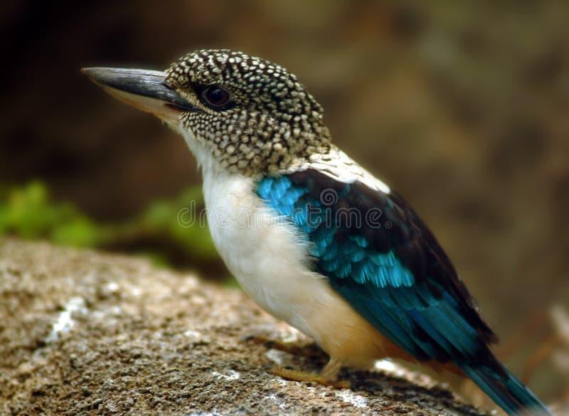 Spangled Kookaburraijsvogel, Zuid-Nieuw-Guinea royalty-vrije stock afbeeldingen
