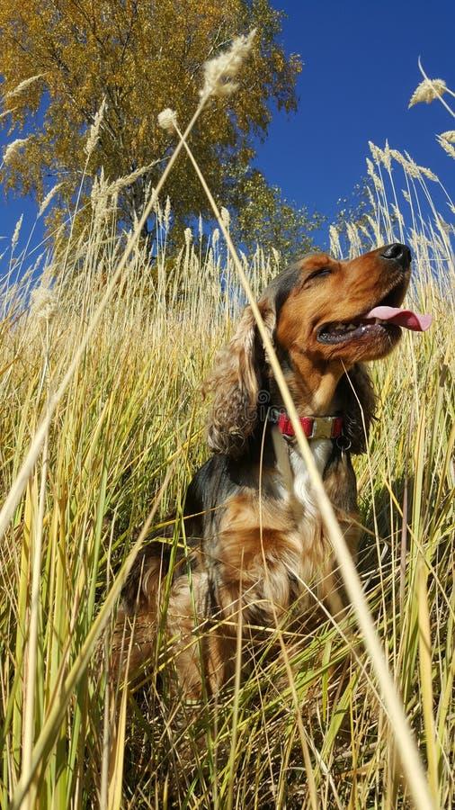 spaniel английской языка собаки кокерспаниеля стоковая фотография