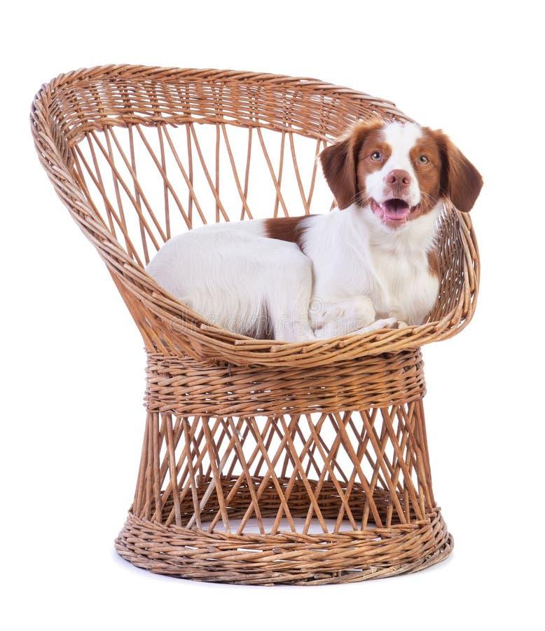 Spaniel Бретани в плетеном стуле стоковые фото