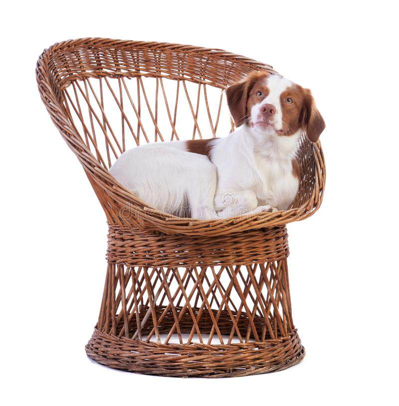 Spaniel Бретань лежа на плетеном стуле стоковая фотография rf