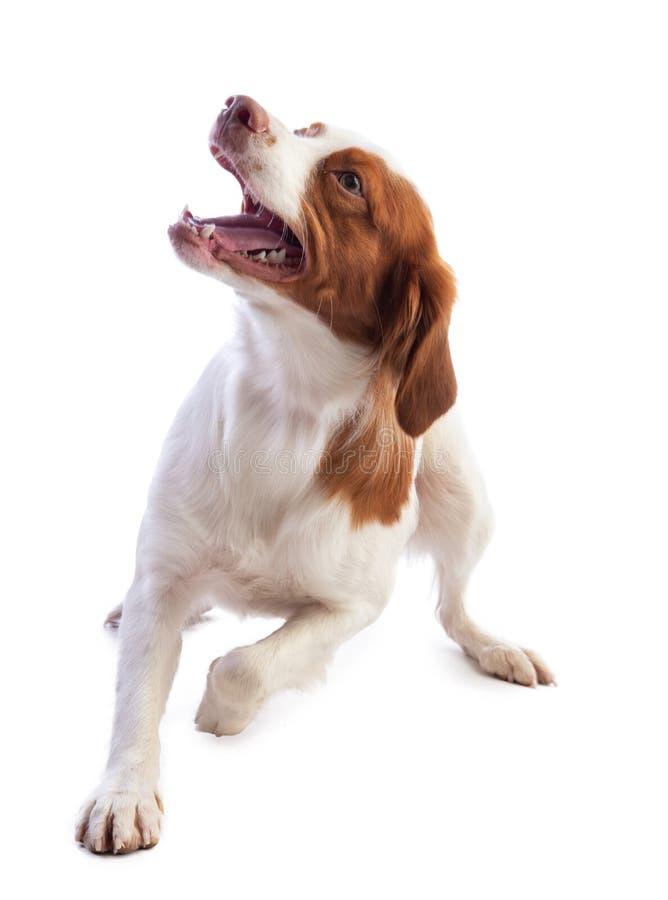 Spaniel Бретань на белой предпосылке стоковые изображения