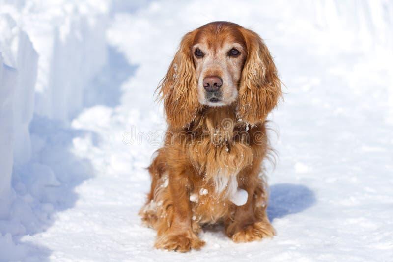 Spaniel кокерспаниеля в зиме стоковые фотографии rf