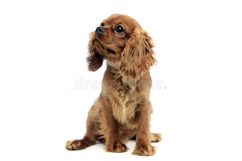 Spaniel короля Чарльза милого щенка кавалерийский в студии стоковые изображения
