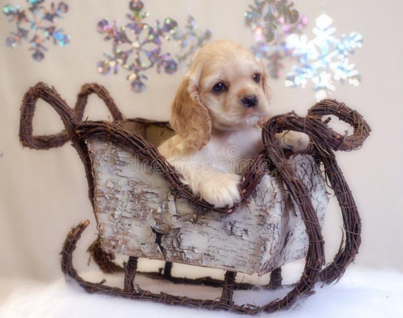 spaniel саней щенка кокерспаниеля стоковое изображение rf