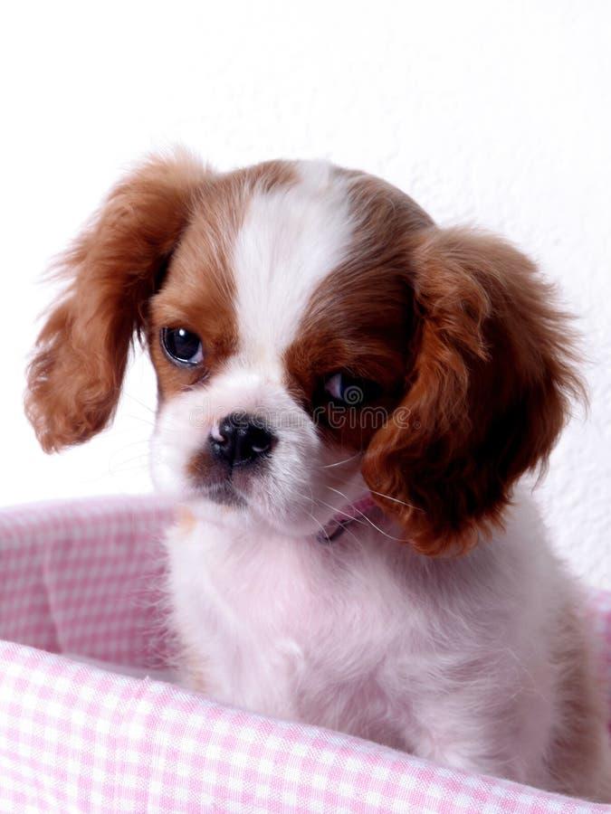 spaniel щенка короля charles стоковое фото