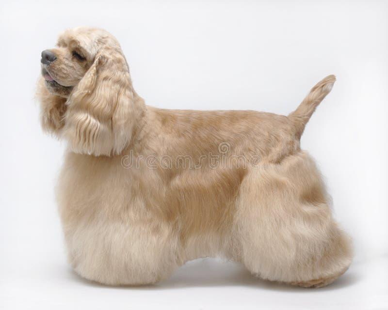 Spaniel americano do fogão do animal de estimação do cão fotografia de stock