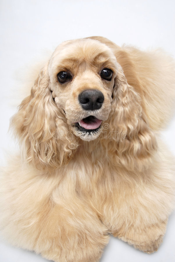 Spaniel americano do fogão do animal de estimação do cão imagem de stock