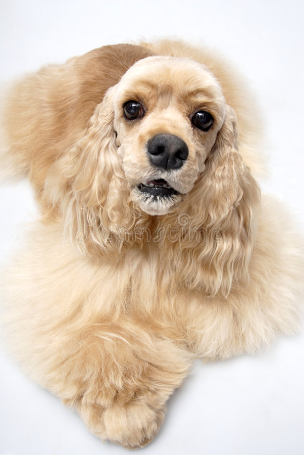 Spaniel americano do fogão do animal de estimação do cão imagens de stock royalty free