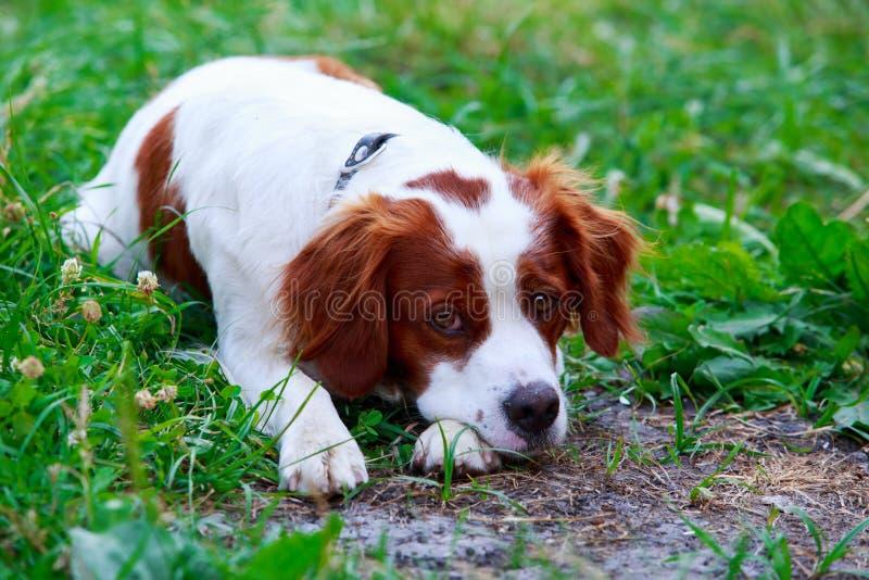 Spaniel bretão da raça do cão fotografia de stock royalty free